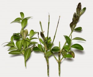 Leaf spots and deaf drop caused by boxwood blight