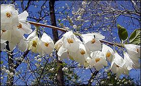 Carolina silverbell flowers