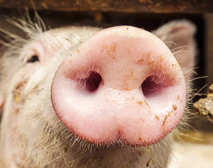 Cover photo for 2018 Northeast Regional Swine Conference